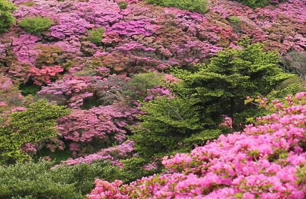 雲仙仁田峠のミヤマキリシマの写真