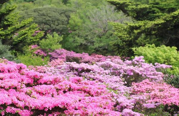 ミヤマキリシマと新緑の写真