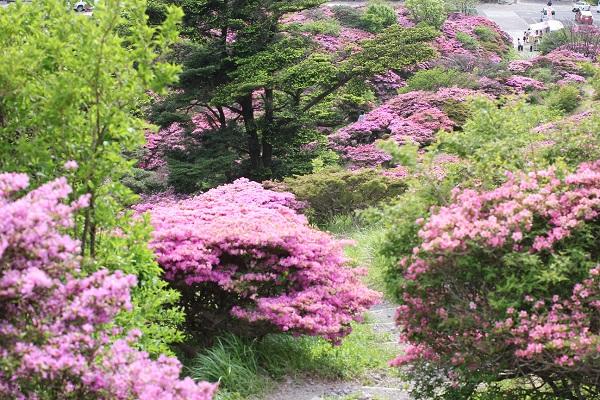 ミヤマキリシマの小道の写真