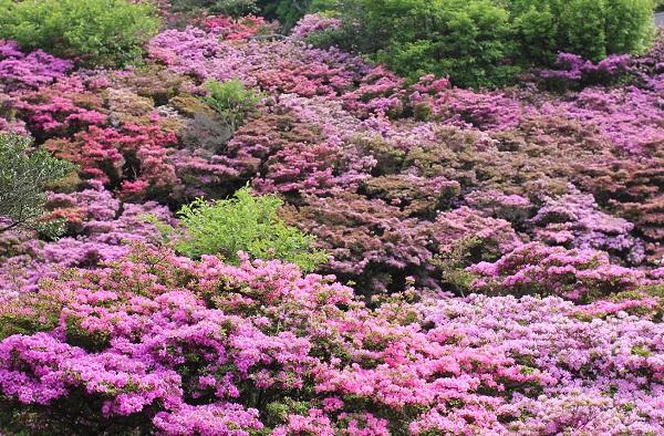 満開のミヤマキリシマの群生の写真