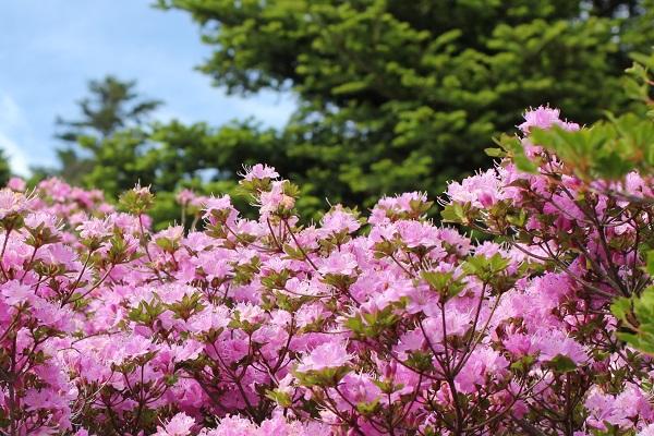 池の原のピンクのミヤマキリシマの写真