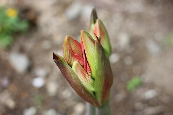 芽につぼみがある様子のアップ写真