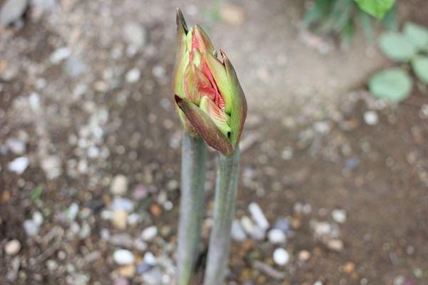 芽に小さなつぼみがある様子の写真