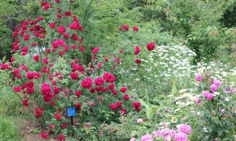 バラが咲いてる庭の写真