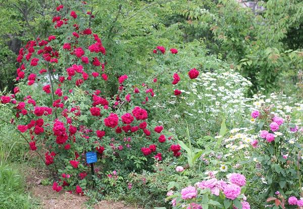 オールドローズガーデンのバラと木や草花の写真