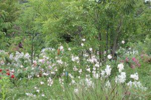 爽やかなバラの庭の写真