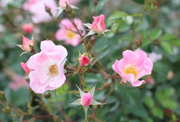 ピンクのつるバラの写真