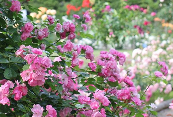 ハウステンボスのピンクのつるバラの写真