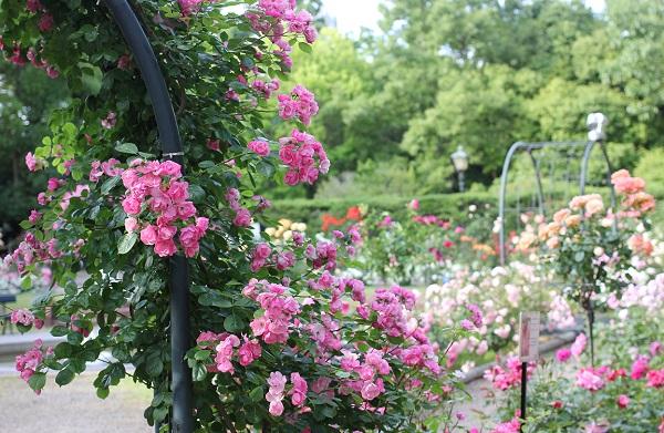 ローズガーデンのバラ園の写真