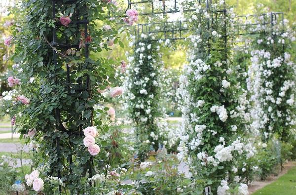 ローズガーデンの白薔薇のアーチの写真