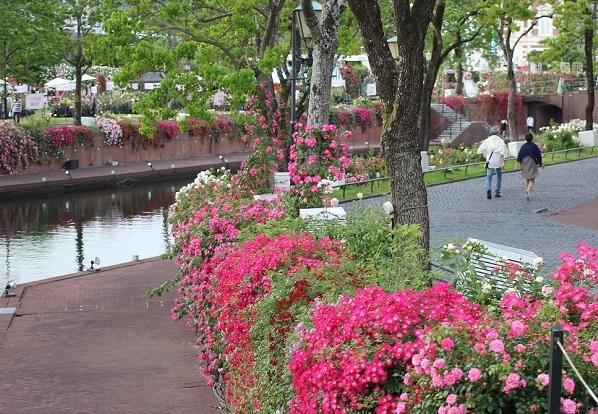 運河のバラとつるバラの身近で見る感じの写真