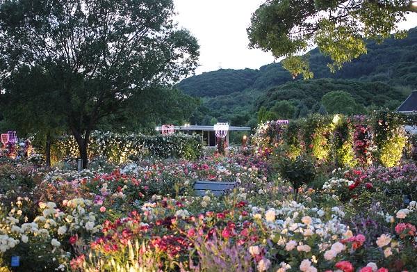 ハウステンボスのバラの園の写真