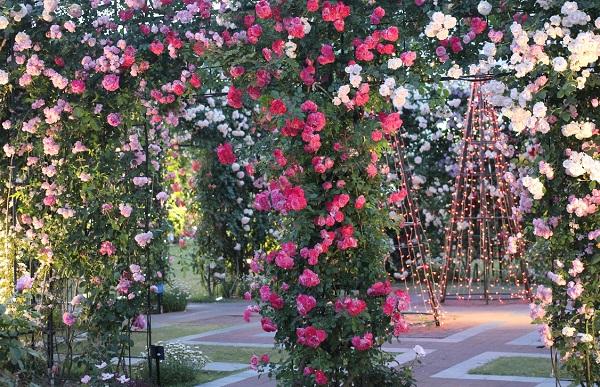 アートガーデン、ライトアップしたピンクの門、バラの写真