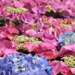 ながさき紫陽花まつりの紫陽花、アップ写真