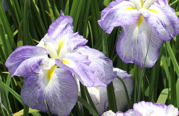 菖蒲園に咲いていた薄紫のハナショウブの写真