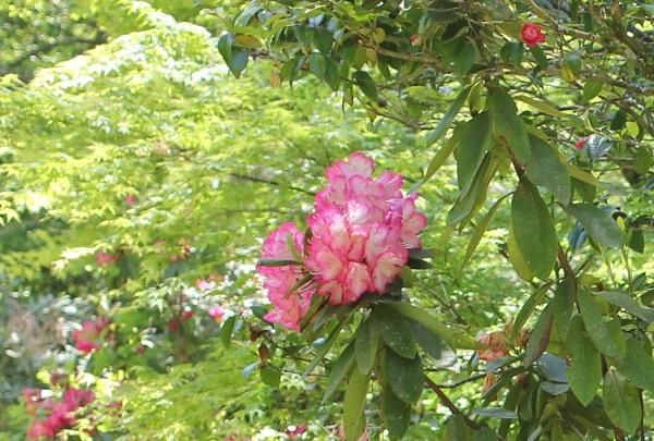 庭のシャクナゲの写真