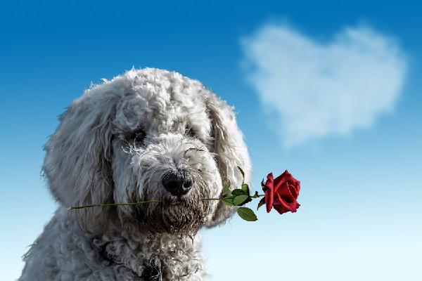 バラをくわえてる犬の写真