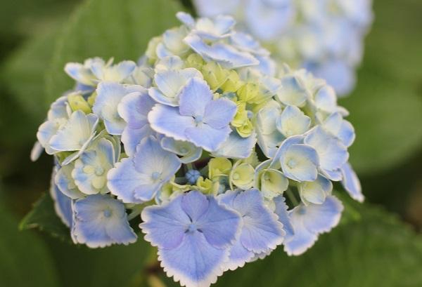 西洋紫陽花、モナリザの写真