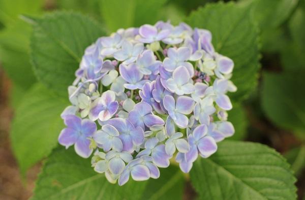 西洋紫陽花、ありがとうの写真