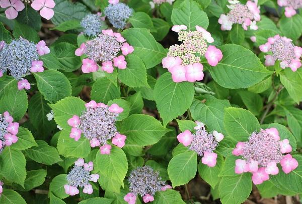 ほろよいと言う品種の紫陽花