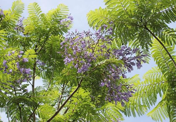 長崎県小浜「ジャガランダ通り」のジャガランダの花木の写真