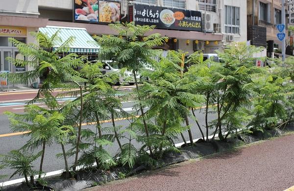 ジャガランダの若い木の並木道の写真