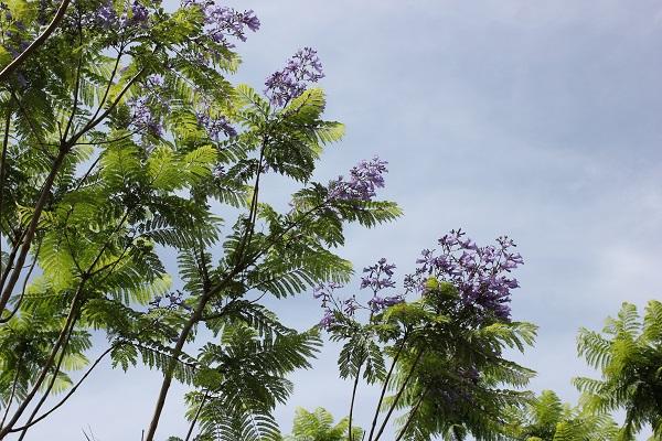 ジャガランダの木を青空の写真