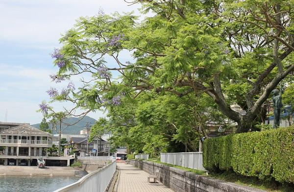 小浜温泉の遊歩道とジャガランダの写真