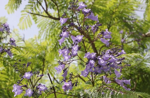 ジャガランダの花とつぼみの写真