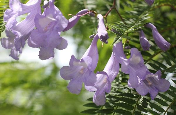 ジャガランダの花、アップ写真