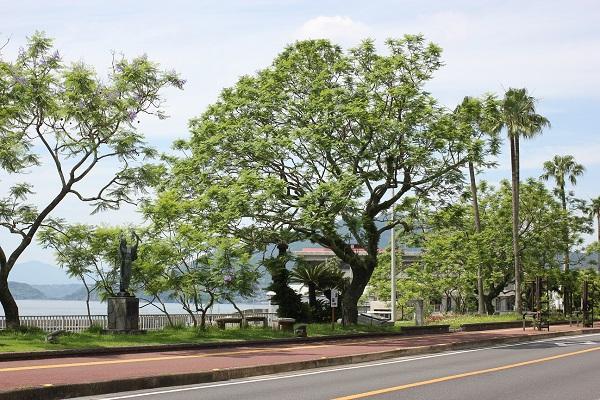 日本一大きなジャガランダの木の写真