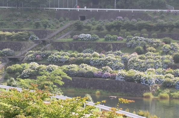国道から見える中木庭ダムのアジサイの景色に写真