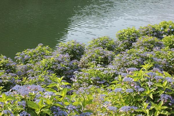 水辺に咲くガクアジサイの写真