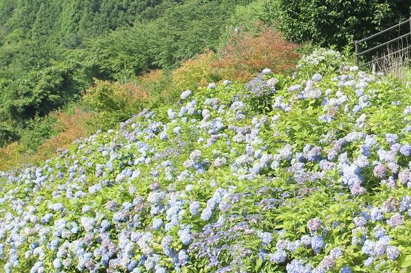 山側に咲いてるたくさんのアジサイと山の写真