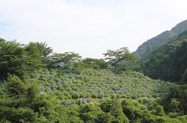 小高い山にアジサイが植えられてる様子の写真