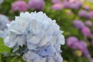 ブルーのアジサイのアップ写真