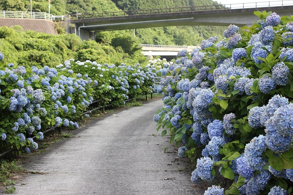青一色のアジサイの小道の写真