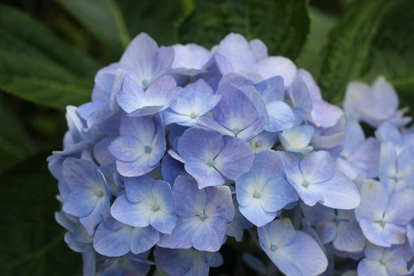 青いてまり咲きのアジサイの写真