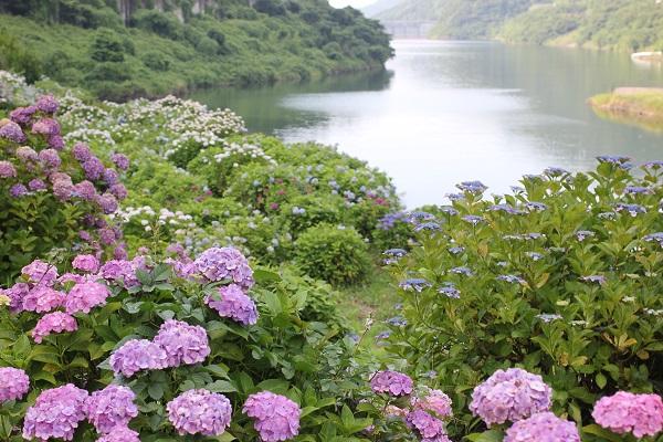 水辺と山、アジサイの写真