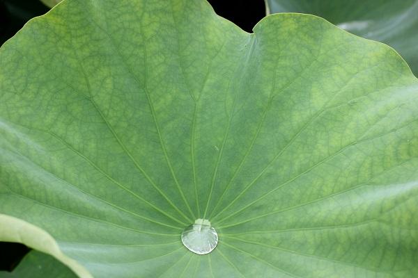 水たまりが出来たハスの葉の写真