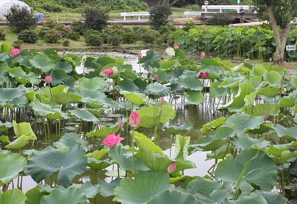 巨椋の炎がたくさん咲いてる池の写真