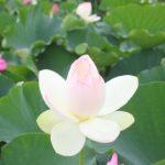 唐比のハスの花の写真