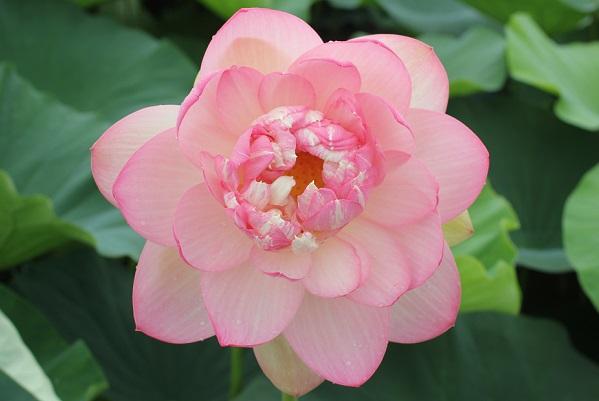 大輪、八重咲のハスの花、アップ写真