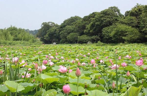 唐子ハス園、たくさんのハスと風景写真