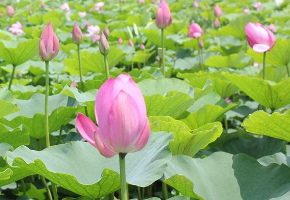 ピンクのハスが咲いてる様子の写真