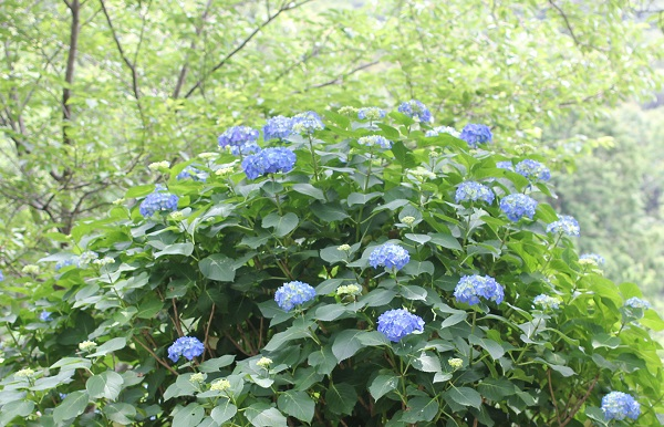 くじゃく園の大きな株の青の紫陽花の写真