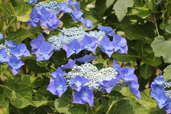 くじゃく園の青むらさきのガクアジサイの写真