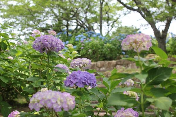 くじゃく園、階段の脇に咲いてる紫陽花の写真