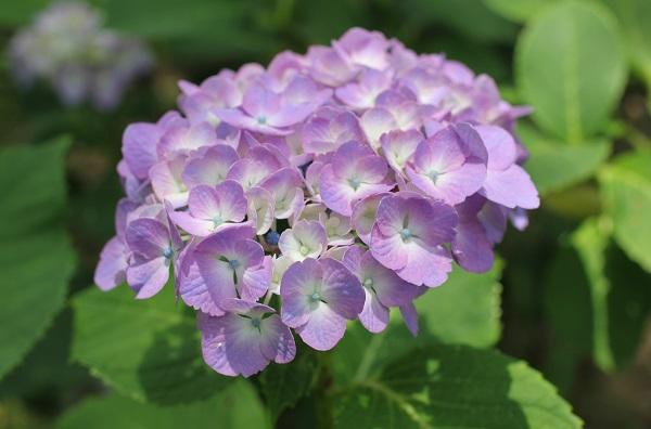 くじゃく園、ピンクの紫陽花の写真