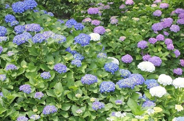 くじゃく園に咲くアジサイの写真